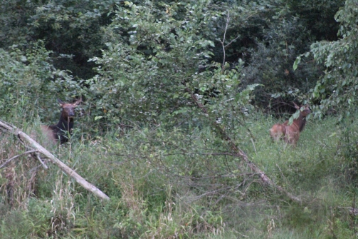 Terrible picture I know but I saw an Elk!